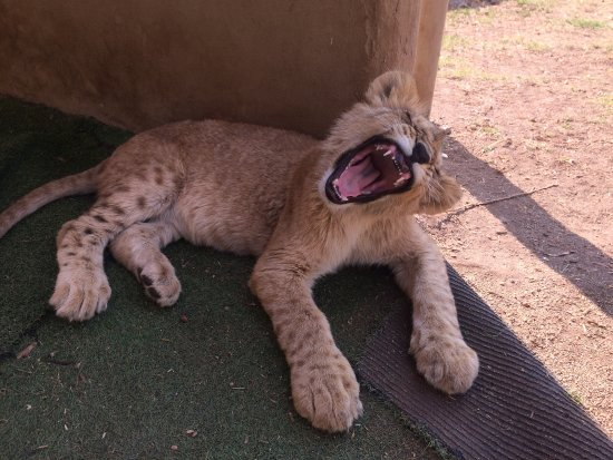 Krugersdorp, South Africa: Yawning Lion Cub