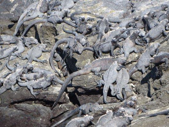 Fernandina, Ecuador: marine iguanas