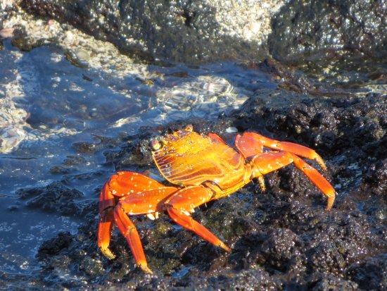 Fernandina, เอกวาดอร์: sally lightfoot crab