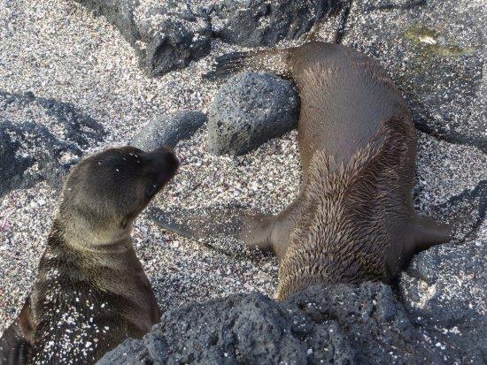 Fernandina, เอกวาดอร์: baby sea lions