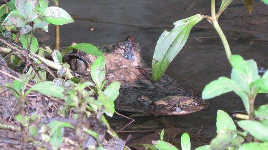 Puerto Jimenez, Costa Rica: Mamá caimán hambrienta