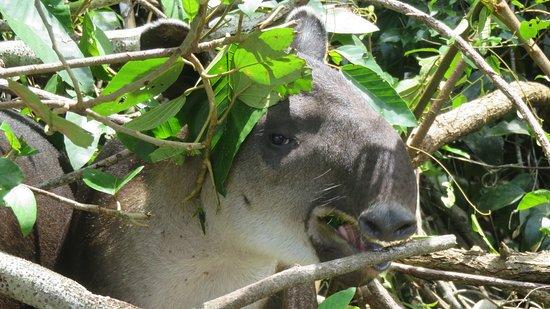 Puerto Jimenez, Costa Rica: El tapir!!