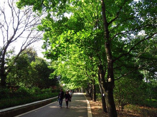 Kunming Botanical Garden: 楓香步道
