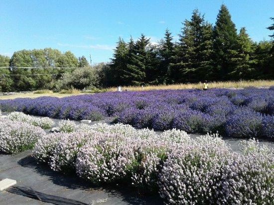 Sequim, Ουάσιγκτον: Lavender field