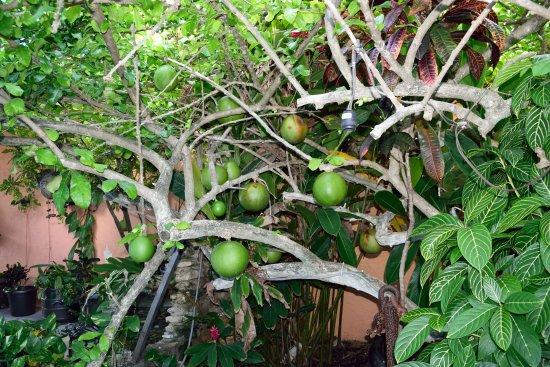 Villas Las Anclas: Calabash tree courtyard
