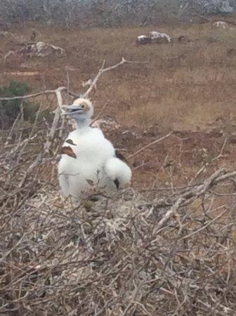 Baltra, Equador: pulcino di sula