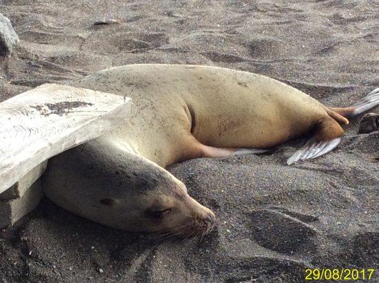 Floreana, Ecuador: leone di mare residente