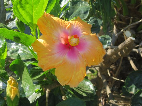 Kealakekua, ฮาวาย: Hibiscus