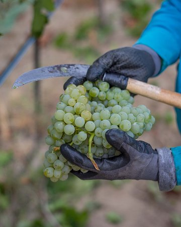 Caldwell, ID: White wine grapes at Harvest time