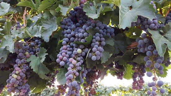 Caldwell, ID: HAT Ranch Cabernet Franc vineyard