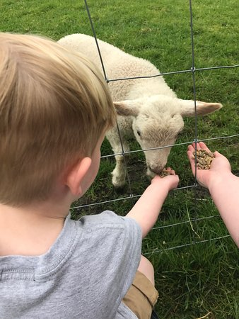 Bolton, UK: again feeding the lambs