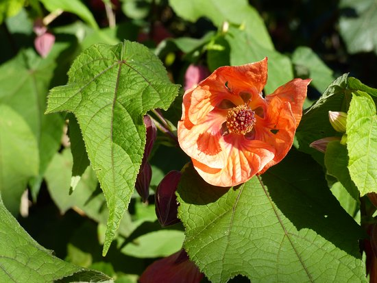 Te Kuiti, New Zealand: Abutilon in flower (May)