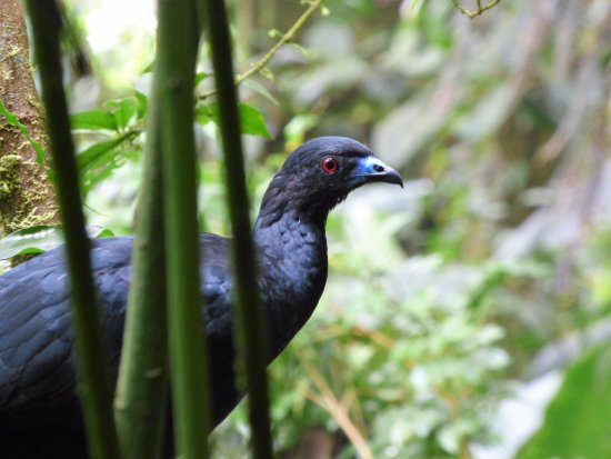 Monteverde, Κόστα Ρίκα: Black Guan / Pava Negra Natural History Walk