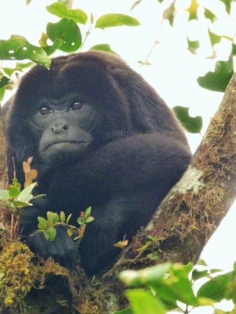 Monteverde, Costa Rica: Howler Monkey / Mono Aullador o Congo. Natural History Walk