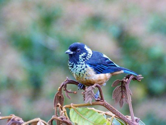 Spangled-cheeked Tanager / Tangara Vientricastaña Monteverde Wild Hikes