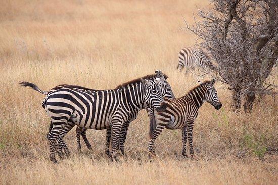Arusha Region, Tanzania: zebras