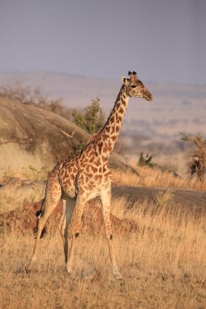 Arusha Region, Tanzania: Masai giraffe