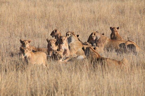Arusha Region, Tanzania: lions