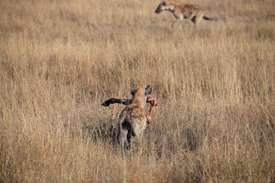 Arusha Region, Tanzania: Hyena