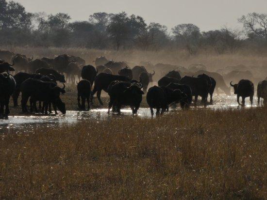 Caprivi Region, Namibia: Buffalo