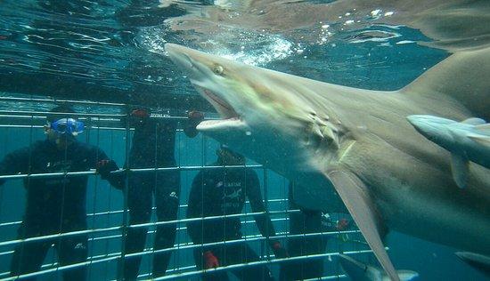 Shark Cage Diving KZN: IMG-20170910-WA0015_large.jpg