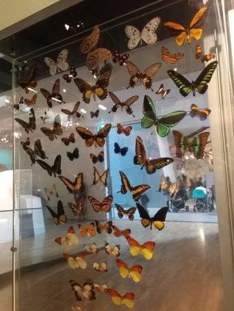 Melbourne Museum: Butterflies Specimen