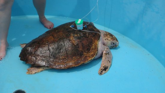 Juno Beach, FL: turtle receiving intravenous medication with water drained from tank