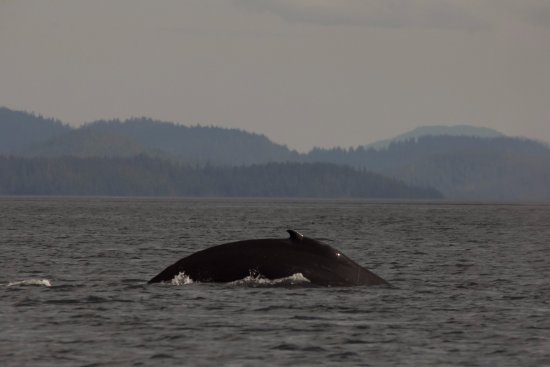 Craig, AK: Humpback whales are a favorite sight to see on our tours.