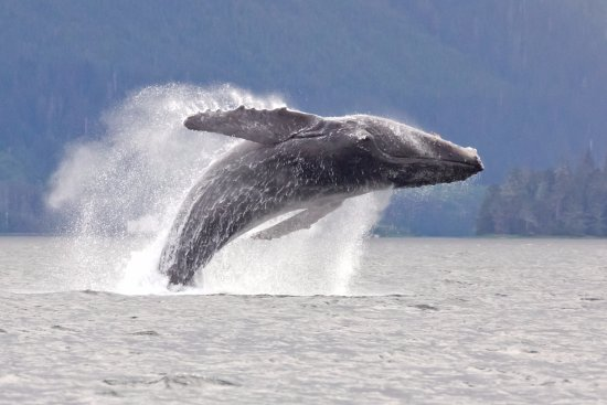Craig, AK: The all time favorite is to see breaching whales, and we get some great shows some days!