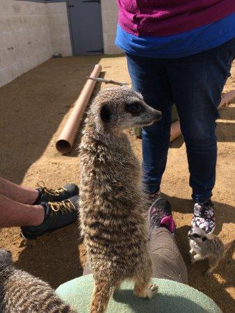 Halesworth, UK: Feeding the meerkats