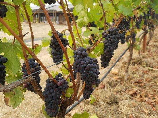 McMinnville, OR: Coeur de Terre Vineyard
