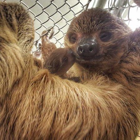 Branson, MO: Sloth baby