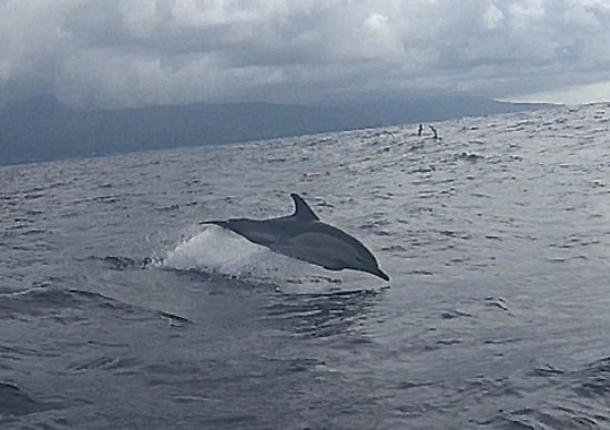 Whale'come ao Pico: Dauphin pris en photo lors d'une excursion