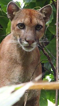 Sierpe, Costa Rica: Rencontre avec un Puma