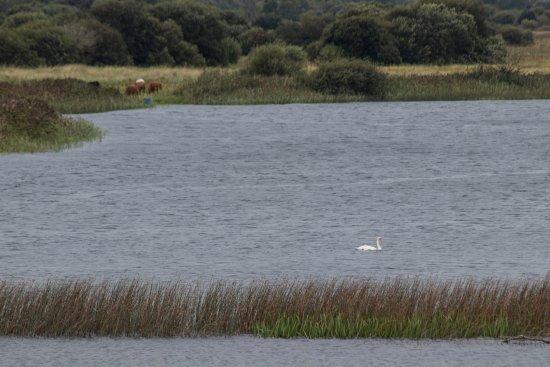 County Offaly, Ireland: Cigno