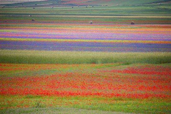 Piana di Castelluccio di Norcia: fioritura