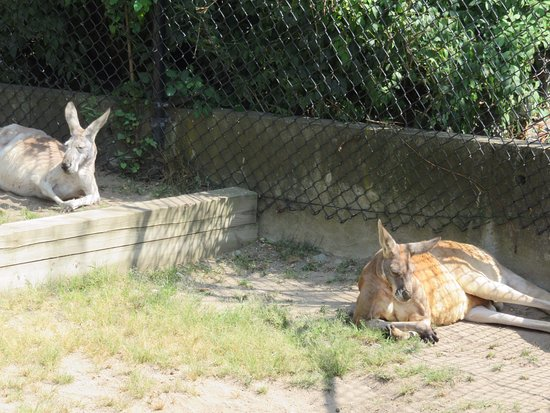 Attleboro, MA: Kangaroos resting in their exhibit space