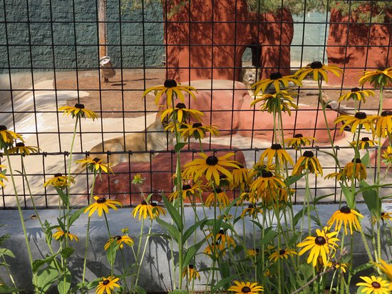 Attleboro, MA: Festive Black-eyed Susans in front of the lions' enclosure