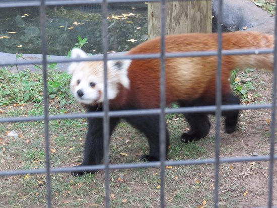 Attleboro, MA: Gorgeous Red Panda in enclosure