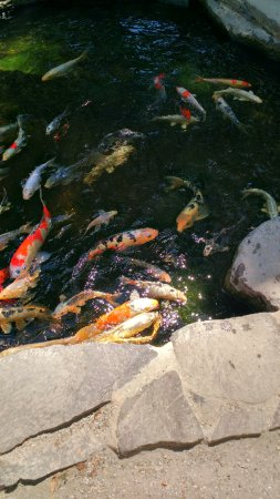 Loomis, CA: The beautiful koi pond in the nursery area.