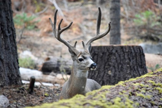 Crane Flat Campground: Deer in our campsite - #116