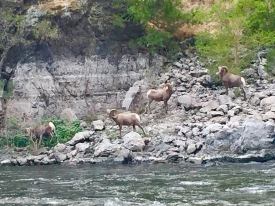 Oxbow, Oregón: Awesome day on the Snake River with HCA! Spotted a bear 5 minutes after launch! Big Horn Sheep l