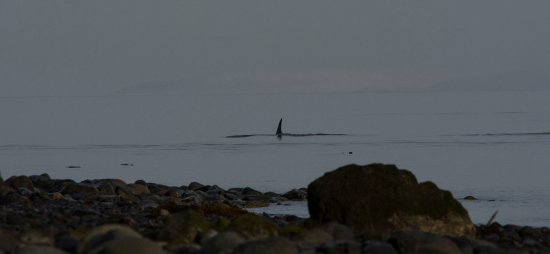 Quadra Island, Canada: Yes - Orcas that close to the shore!
