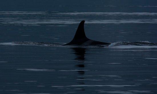Quadra Island, Canadá: More Orcas