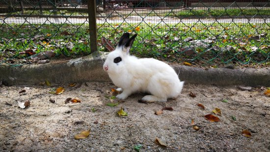 Bentong, Malaysia: one of the rabbits