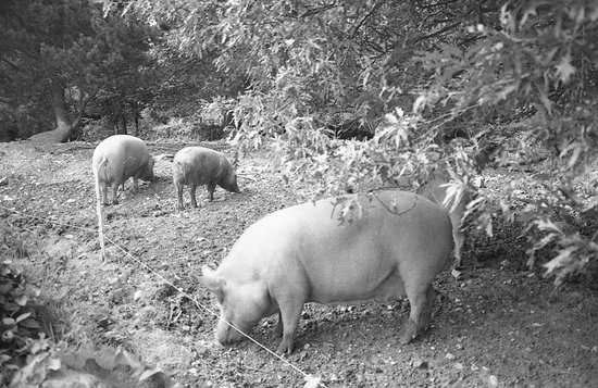 St Austell, UK: Pigs at Heligan (B&W film)