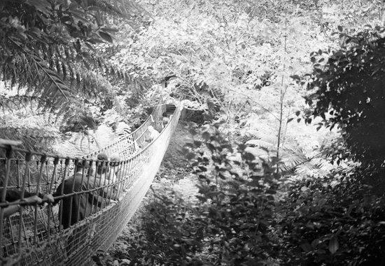 St Austell, UK: Rope bridge in the jungle (B&W film)