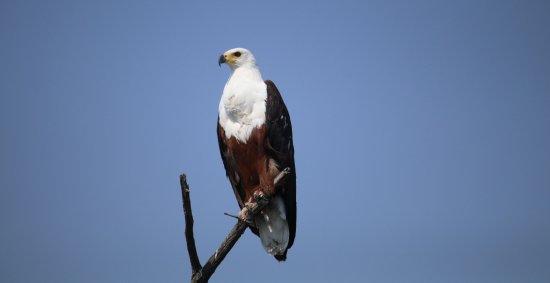 Маун, Ботсвана: African Fish Eagle