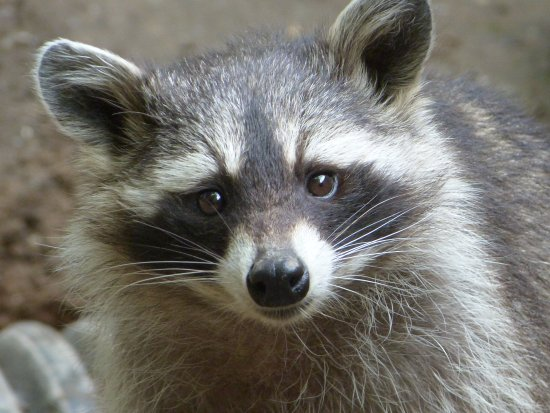 racoon picture of combe martin wildlife and dinosaur park
