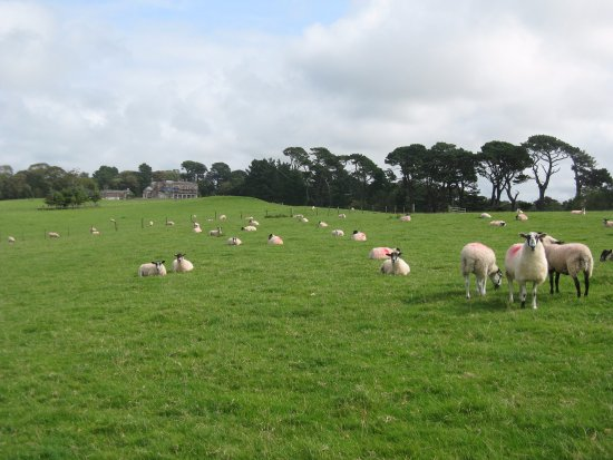 Instow, UK: The sheep have spotted the camera